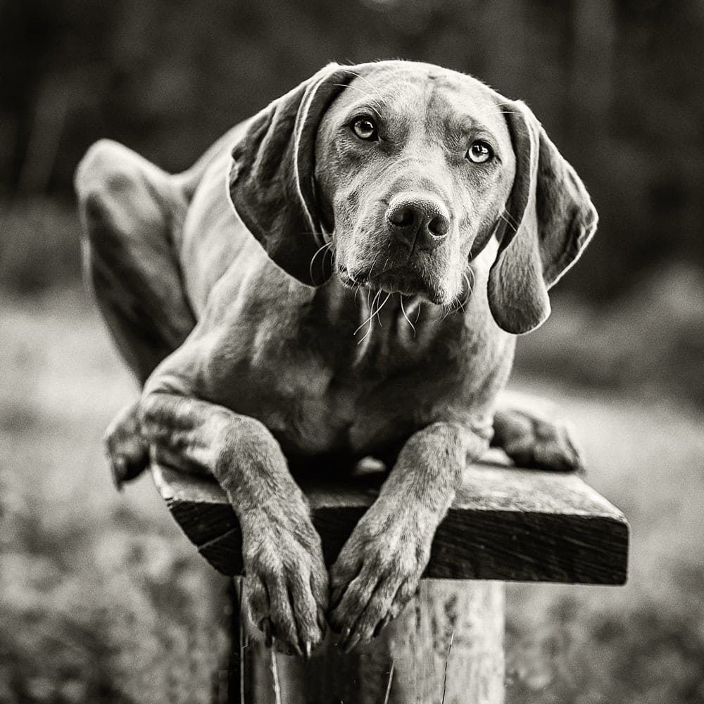 Nic Bisseker Photography Dog photographer  East Grinstead old dog portraits