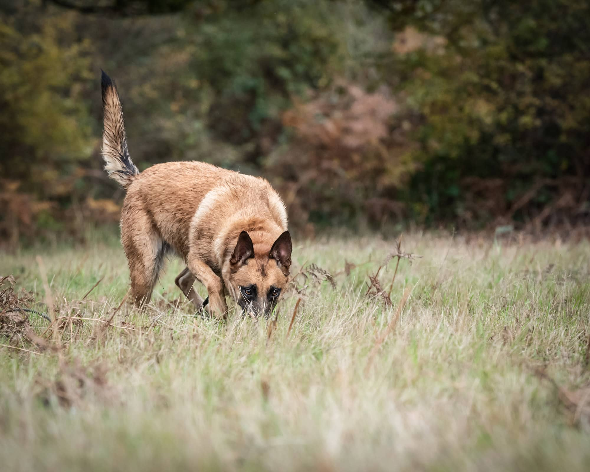 nic Bisseker photography rescue dog malinois